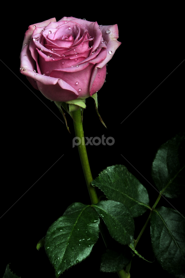 Rose with leaves by Cristobal Garciaferro Rubio - Nature Up Close Flowers - 2011-2013 ( rose, aroma, drop, drops, roses, raindrops, beauty, leaf, leaves, flowers, flower )