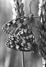 """Photo: L'accouplement des papillons """"Demis-deuil"""" sur un épi de blé - archives 1974 -"""