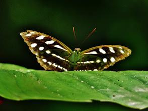 Photo: Dem Aussehen nach müsste es der Athyma pravara, engl. Lance Sergeant sein, doch der soll im tropischen Asien beheimatet sein. Fotografiert am Amazonaszubringer Rio Napo auf 300 m NN.