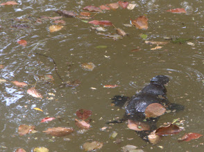 Photo: Platypus