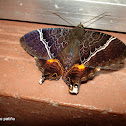 Coronidida moth