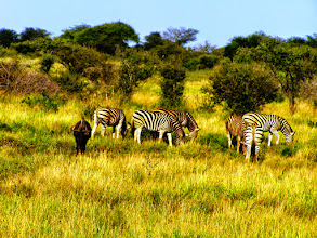 Photo: Zebras in Hippos in Kruger NP