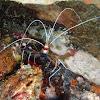 Banded Coral Shrimp