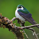 Violet-green swallow (male)