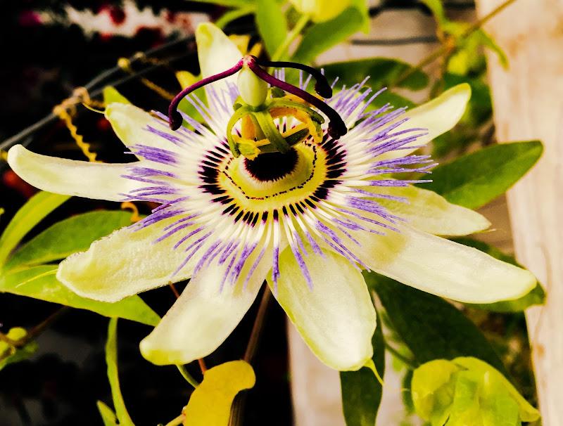 passiflora di serenadg