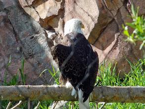 Photo: A bald eagle