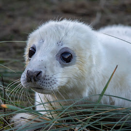 Young Seal pup - Donna Nook by Fiona Etkin - Animals Other Mammals ( white, mammal, big eyes, nature, grey seal, animal, baby animal, seal pup, fluffy, cute,  )