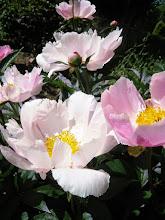 Photo: Delicate pink flowers in Wegerzyn Gardens in Dayton, Ohio.