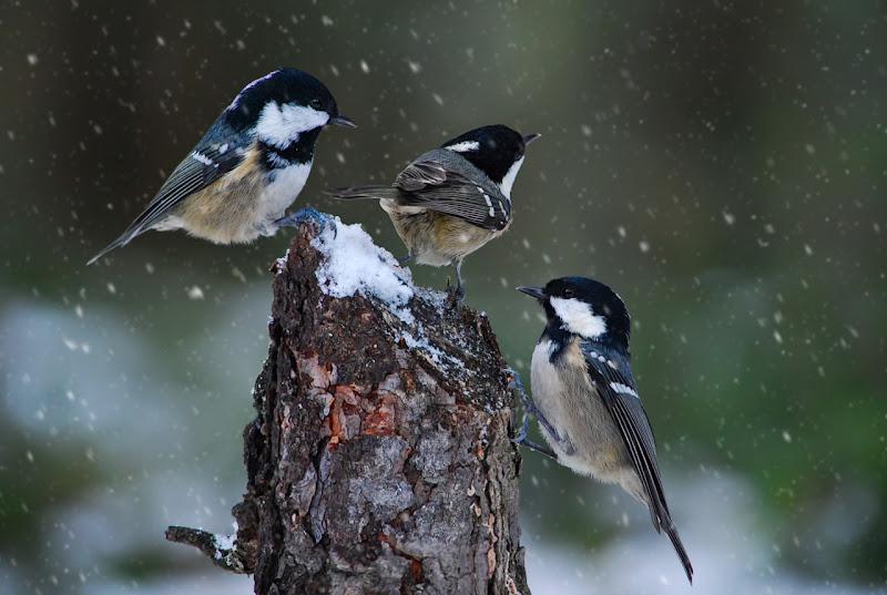 Tre  cince nella neve di BASTET-Clara