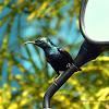 Purple sunbird -Male - தேன்சிட்டு (Thaen chittu)