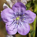 Giant Flowered Phacelia