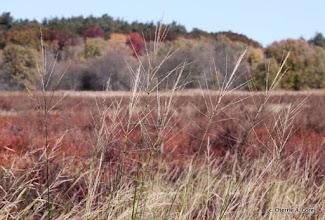 Photo: Wild rice and foliage, 10.23.10