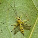 Yellow Ichneumon Wasp