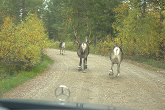 Photo: Chasing the reindeer down the road