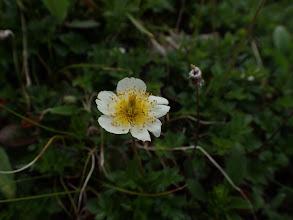 チングルマの残り花