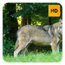 Artic Wolf Wallpaper HD New Tab Theme