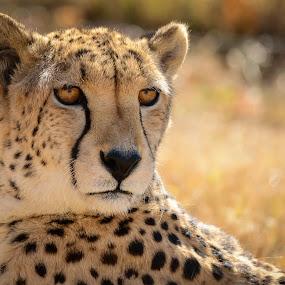 Cheetah by Hannes van Rooyen - Animals Lions, Tigers & Big Cats ( cheetah, male, adult, fast, jagluiperd,  )