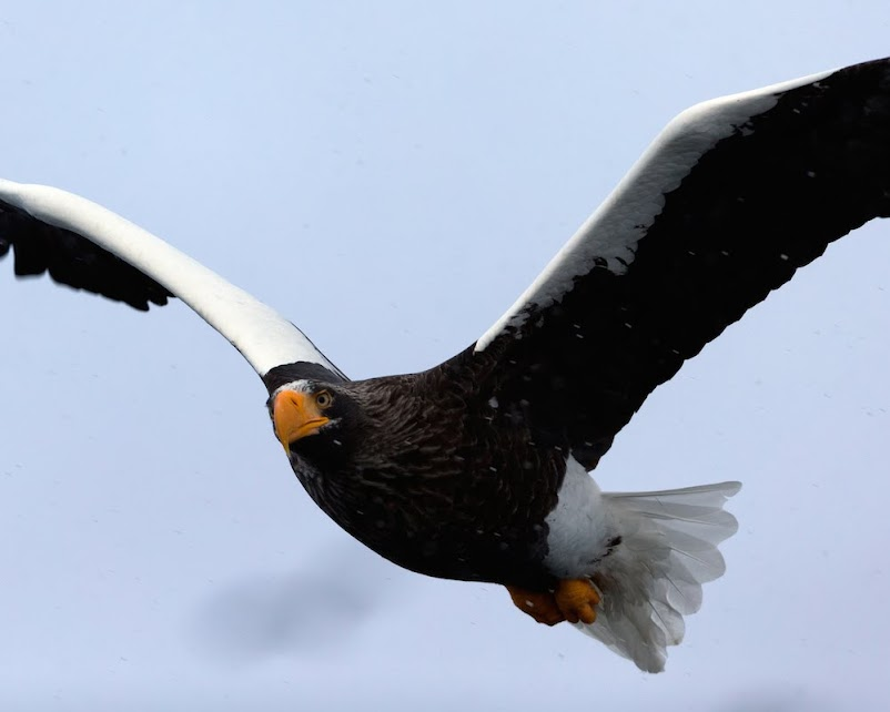 近くを飛ぶオオワシ