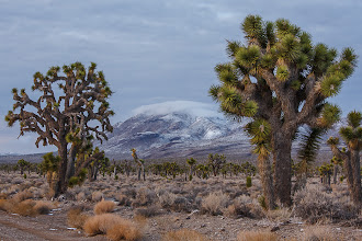 Photo: Joshua trees are an indicator species fo the Mojave Desert ecosystem