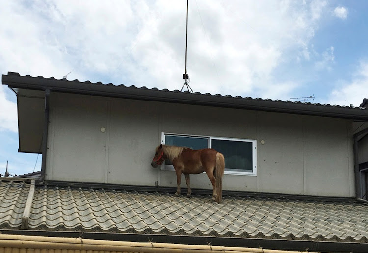 A horse stranded on a rooftop after torrential rain, is pictured in Kurashiki, Okayama Prefecture, Japan July 9, 2018.