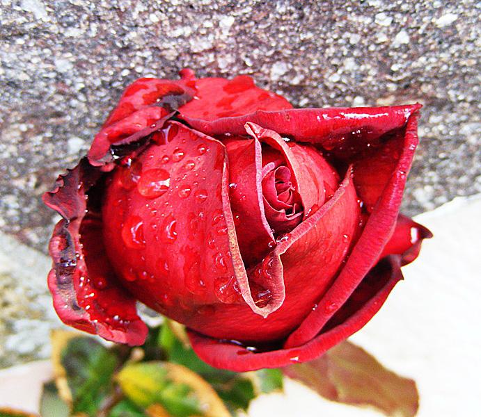 Goccia di rosa di maratalex