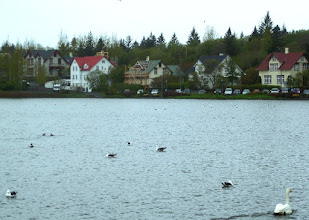 Photo: Swans and other birds enjoyed Reykjavik Lake right in the center of town.