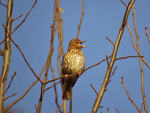 Photo: Priorslee Lake I said it was unusual to see a Song Thrush with a beak shut at the moment: here is a typical shot. (Ed Wilson)