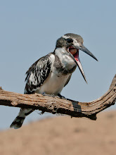 Photo: Male Pied Kingfisher regugitating scales and bones , Mankwe Dam, Pilanes berg Game reserve, South Africa