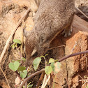 Rock hyrax, rock badger and Cape hyrax