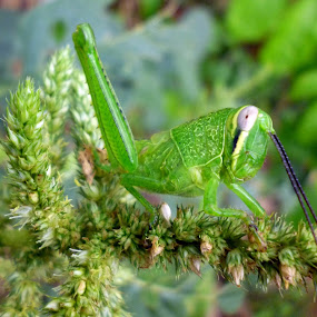 grasshopper by Razone Wane - Novices Only Macro ( concept, nature, color, green, food, , world_is_green, backyardmarvels, amazingworlds )