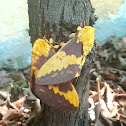 Mariposa Imperial
