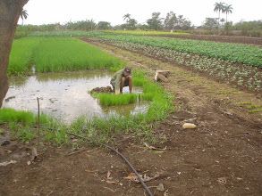 Photo: A farmer in Las Villas pulling up 13-day old rice seedlings destined for SRI. (Photo by Rena Perez)