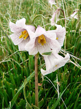 Photo: Fritillaria striata - M. White