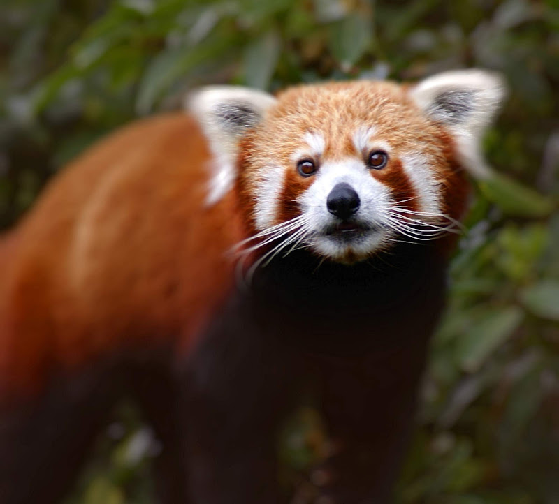 A red panda at the Melbourne Zoo.