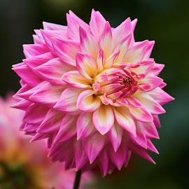 Dahlia 8695~ by Raphael RaCcoon - Flowers Single Flower