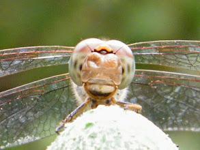 """Photo: Un certain sourire... Tête de libellule à l'affût sur un support ! """"sympetrum striolatum"""""""