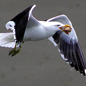 Black Backed Gull - New Brighton Beach by Phil Le Cren - Animals Birds ( bird, gull, seagull, black backed gull, Bird in flight, bif,  )