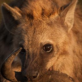 Hyena with Gnu Horn by Ken Dyball - Animals Other ( hyena warm light masai mara kenya gnu horn )