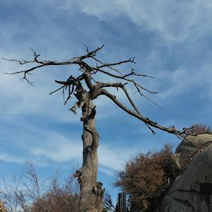 huashan tree.jpg