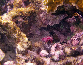 Photo: Hermit Crab. Note the red encrusting algae, calcified branching algae and soft algae.