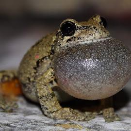 Gray Tree Frog by Joe Peloquin - Animals Amphibians ( frog, nature, animals, amphibians )