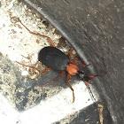 False Bombardier Beetle