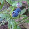 Velvetleaf Blueberry
