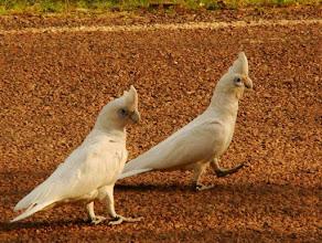 Photo: AUSTRALIE-Cacatoès corella en Australie