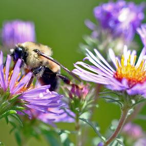 Bee meet flower by Jon Hurd - Nature Up Close Flowers - 2011-2013 ( macro, pollen, purple, bee, flower )