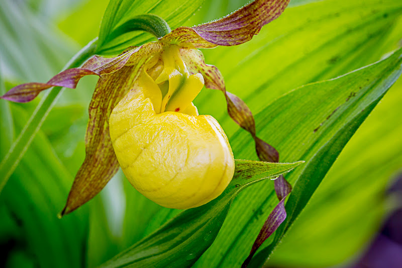 Photo: Still processing images from Acadia National Park, and came across this lovely Yellow Lady's Slipper. For #floralfriday  by +Tamara Pruessner. #newengland #wildflowers #flowers #acadianationalpark
