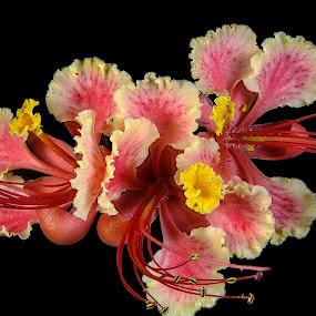 Caesalpinia pulcherrima by Rui Santos - Flowers Flower Arangements ( brazil, abaetetuba, caesalpinia pulcherrima, nature, natureza, pará, flor, flower, amazon,  )