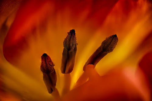 On Fire by Johannes Oehl - Abstract Macro ( plant, orange, flowering, blooming, flora, texture, beautiful, post processing, bloom, spring, close up, post-processing, pretty, blossom, close-up, macro, pollen, focus stacking, detailed, lovely, stamen, flower,  )