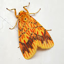 Orange Barrow Moth