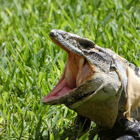 Yawn by Judy Boyle - Animals Reptiles ( #nature #closeup,  )